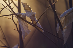 (amy20079) Tags: wilted goldenhour leaves winter winterleaves light dark branches mood curled bokeh brown dead hanging sunlit backlit sunlight dry withered age time beechtree beechleaves