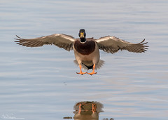 Touching Down (Steve (Hooky) Waddingham) Tags: animal countryside bird british nature flight wild wildlife wildfowl planet duck