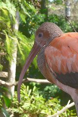 Scarlet Ibis  --  tmp-cam-177467994 (mshnaya ☺) Tags: bird fowl scarlet ibis fauna curved beak flickr photo compact point shoot camera leicac leica nature water