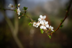 Spring is here (Jannik Peters) Tags: sony blossom spring white bokeh beautiful smooth a7 24mm 1424 gm