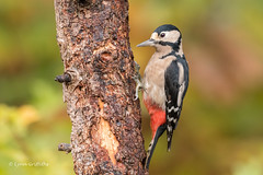 Great Spotted Woodpecker D85_7106.jpg (Mobile Lynn) Tags: nature greatspottedwoodpecker birds woodpecker bird dendrocoposmajor fauna forest picidae piciformes tree wildlife coth coth5 ngc npc