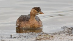close-up with a Little Grebe {in Winter plumage} ... (Jeremy Eyeons) Tags: tachybaptusruficollis littlegrebe rspb freistonshore bird lincolnshire diver diving