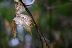 Autumn Is Over (luke.me.up) Tags: nikon z6 nikonz6 2470f4 kitlens leaf autumn fall decay