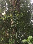 Carronia protensa (FNQ vines) Tags: menispermaceae carronia fruit arffs redarffs arfp australianrainforestplants queensland qrfp tropicalarf uplandarf towalla wooroonoorannationalpark arfcp