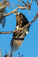 American Bald Eagle Right Wing Outstretched (dbadair) Tags: outdoor nature wildlife 7dm2 canon florida bird