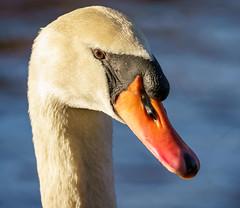 Portrait - Schwan (KaAuenwasser) Tags: schwan vogel vögel wasservogel kopf schnabel auge wasser see schlossgarten karlsruhe sonne morgen portrait porträt