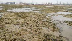 'Burnt' seagrasses on Cyrene (wildsingapore) Tags: cyrene seagrasses island singapore marine coastal intertidal shore seashore marinelife nature wildlife underwater wildsingapore