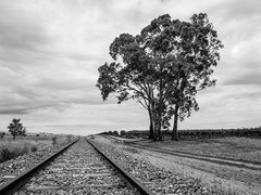 No More Trains (Anthony Kernich Photo) Tags: blackandwhite monochrome mono grayscale bw railwayline trainline abandoned disused tree ruleofthirds leadinglines southaustralia barossa tanunda bethany rundown railway rails track outdoor summer travel adelaide olympusem10 olympus olympusomd microfourthirds lumix australia sa