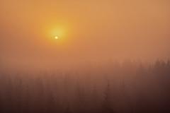 forest series #244 (Stefan A. Schmidt) Tags: meschede nordrheinwestfalen deutschland de tree trees sun goldenhour golden scenic ethereal fog mist