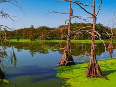 Marshes of Wallisville (rhrown) Tags: wallisville birdrookery pool pond lake trees cypresstrees baldcypress greenmoss moss rookery treereflection reflections treereflections landscape texas bluewater spanishmoss
