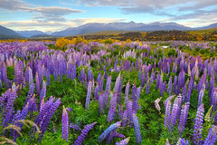 Windy sunset with lupines (witajny) Tags: landscape landscapephotography naturephotography nature river mountains sky clouds cloudysky windy flowers floral colorful color colors southlandnz fiordlandnationalpark national southisland newzealand