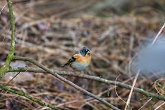 Brambling (Alex Srdic) Tags: uk england hampshire newforest southampton ringwood blashford blashfordlakes woodland woodlandhide hide birdhide bird birds passerine passerines brambling