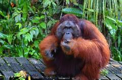 Semengogh Wildlife Reserve, Kuching (_JLC_) Tags: kuching semengogh borneo malasia malaysia asia sudesteasiático semengoghwildlifereserve wildlife nature naturaleza canon canon6d eos 6d orangutan orangután orangutanritchie ritchie