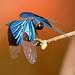 Jewel Flutterer (Rhyothemis resplendens)
