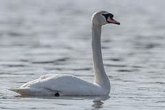 Mute Swan (Kevin E Fox) Tags: muteswan swan bird birding birdwatching birds sigma150600sport sigma nature nikond500 nikon pennsylvania peacevalley newbritain