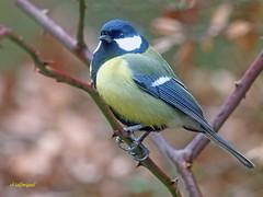 Carbonero común (Parus major) (10) (eb3alfmiguel) Tags: pájaros passeriformes insectívoros paridae carbonero común parus major