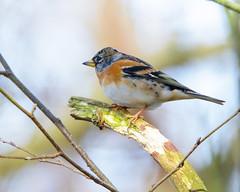 Brambling (Mel Low) Tags: brambling bird britishwildlife suffolkwildlifetrust northcove nikond7000