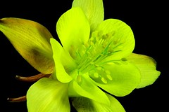 Aqualegia 01473 (xbhbwify72) Tags: english country botany cottagegarden horticulture flowers floral plants season
