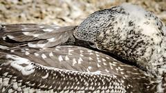 Sleepy gannet (Stefan Marks) Tags: animal australasiangannet bird closeup feather gannet head juvenile morusserrator nature outdoor sleeping aucklandwaitakere northisland newzealand