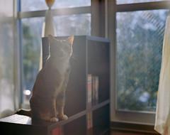 cat (428sr) Tags: pentax67 kodak portra400 6×7 120 cat miaw hiyori neko ねこ 猫