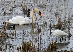 Lakeside (gillybooze (David)) Tags: ©allrightsreserved bird swan littleegret duck water marsh grass reeds lake dof outside wildlife outdoors wild wadingbird shadows wigeon reflections