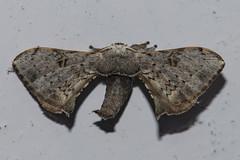 Makunda Insects-7357 - Bombycidae (Vijay Anand Ismavel) Tags: bombycidae makundamoths nikond800