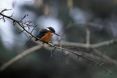 martin-pêcheur_18D2876 (Bernard Fabbro) Tags: martinpêcheur kingfisher eisvogel oiseau bird