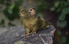 Marmoset (phrada_kendi) Tags: nikon nikond750 d750 tamron tamron70300mmf45 tamron70300mmf456divcusd tamron70300mmf456 monkey ape zoo budapest portrait portret