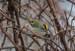 Golden-crowned Kinglet , Greenway Park (frank.king2014) Tags: goldencrownedkinglet