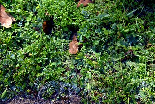 hierbas con escarcha