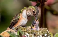 Feeding Time (Allen's Hummingbird) (Thy Photography) Tags: allenshummingbird hummingbird flowers fullframe animal avian animals annashummingbird nature nectar california outdoor bird backyard photography feeding