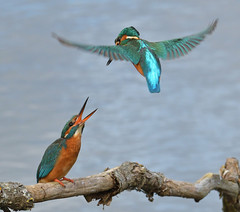 Kingfishers (KHR Images) Tags: kingfishers male female pair alcedoatthis courtship flight hover wild bird lackfordlakes suffolk wildlife nature nikon d500 kevinrobson khrimages