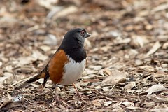 Towhee looking back (JSB PHOTOGRAPHS) Tags: 8007635 spotted towhee nikon d800 af nikkor 300mm f4 ifed