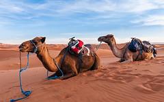 240_F_126322676_yO16SBcyVMw95u8Upjr7jTkMdD4jvXWj (lhoussain) Tags: camel another life sunrise sunset calm relax berber women