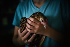 Holding Crackle (Jen MacNeill) Tags: sebright chicken hen bird poultry light girl animal pet farm show ag fair littledoglaughedstories