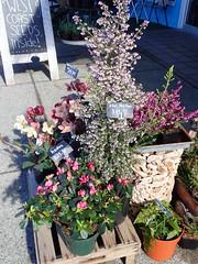 Did You Ever? (I Flickr 4 JOY) Tags: hellebore mum pink springflowers tallheather billiesflowerhouse squamish agnes