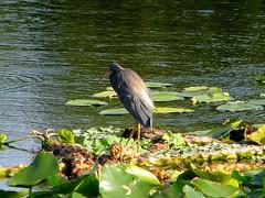Egretta caerula --  Little Blue Heron 0648 (Tangled Bank) Tags: palm beach county florida wild nature natural outdoors bird fauna wildlife egretta caerula little blue heron 0648