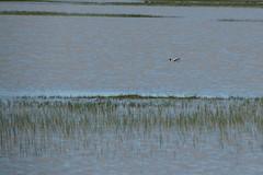 American Avocet (Sam Schmidt) Tags: jepsonprairiepreserve vernalpools prairie dixon california bird americanavocet recurvirostraamericana