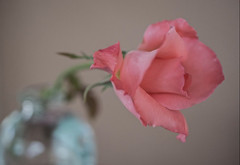 In The Pink (ACEZandEIGHTZ) Tags: rose nikon d3200 bokeh vase pink petals flower coth alittlebeauty coth5 sunrays5