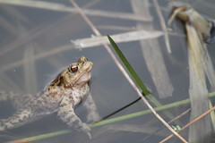 Inquisitive Toad. (ChristianMoss) Tags: common toad bufo amphibian amplexus