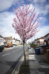 Tree in Blossom, Arlington Road, Southgate (London Less Travelled) Tags: uk unitedkingdom britain england london city urban southgate tree blossom suburb suburbs suburban suburbia street