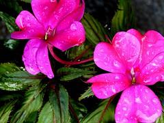 Primavera y lluvia (camus agp) Tags: flores alegriadelacasa impatiens gotas