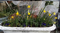 Daffodils with buds opening on balcony floor from outside 20th March 2019 (D@viD_2.011) Tags: daffodils with buds opening balcony floor from outside 20th march 2019