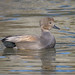 Gadwall (m) in breeding plumage