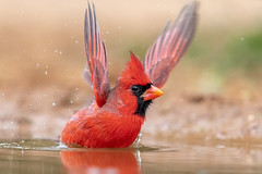 Come on and raise your hands! (tspine) Tags: northerncardinal santaclararanch texas