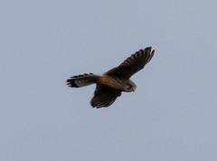 Kestrel (Liam Waddell) Tags: bird bogside sssi irvine ayrshire scotland sky