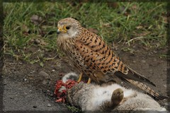 Kes's Rabbit Dinner (Chris Cox Images of Nature) Tags: falcon nature kestrel wildlife uk warwickshire
