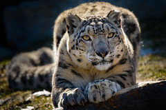 Ready to Pounce (Eric Tischler) Tags: snow leopard cleveland zoo animal cat