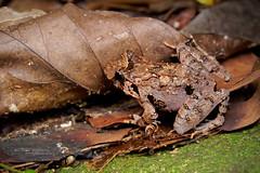 Unkown frog... (Matthieu Berroneau) Tags: frog toad grenouille crapaud amphibien amphibia amphibian sony alpha ff 24x36 macro nature wildlife animal fe 90 f28 g oss fe90f28macrogoss sonya7iii sonya7mk3 sonyalpha7mark3 sonyalpha7iii a7iii 7iii 7mk3 sonyilce7m3 sonyfesonyfe2890macrogoss objectifsony90mmf28macrofe sel90m28g herp herping trip malaysia malaisie borneo bornéo