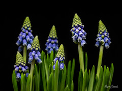 Muscari Mill (Magda Banach) Tags: canon canon80d muscarimill sigma150mmf28apomacrodghsm blackbackground blue buds colors flora flower green macro nature plants